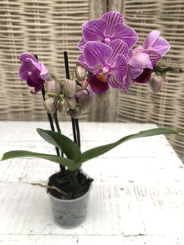 Phalaenopsis mini pink Topfdurchmesser 5cm Höhe ca. 21cm