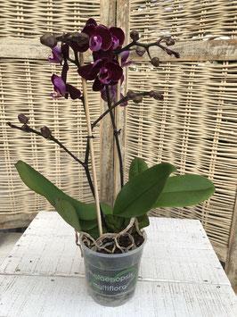 Phalaenopsis 2 Rispen rot Topfdurchmesser 11,5cm Höhe ca. 47cm