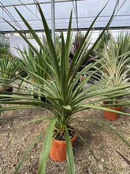 Cordyline australis 100/125cm