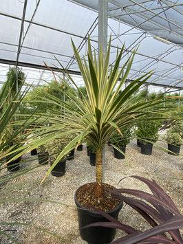Cordyline australis ca. 150cm