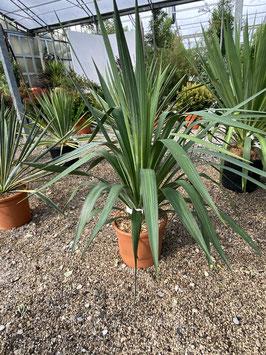 Yucca gloriosa bis -24°C stammbildend 60/80cm