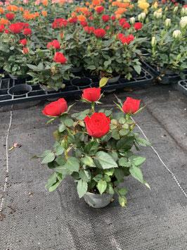 Rose Mini (Rosa)
