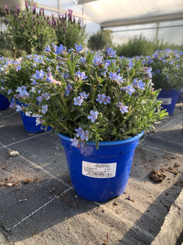 Steinsame (Lithodora diffusa)