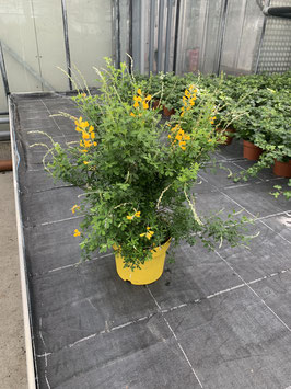 Ginster Busch (Cytisus maderensis)