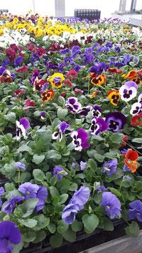 Pensées Grandes Fleurs - Godet de 8 x 8 cm - La barquette de 10