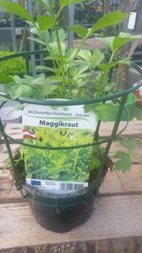 Maggikraut