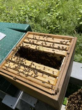 Bienenvölker Carnica auf CH Mass
