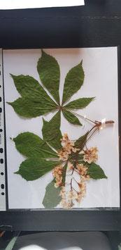 Aesculus hippocastanus
