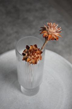 Leucospermum Plumosum
