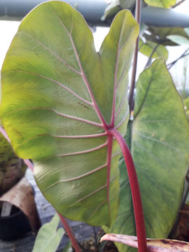 "Colocasia ""Pink China"""