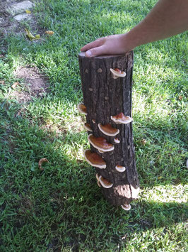 Reishi Mushroom Plug Spawn