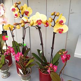 Phalaenopsis - Orchideen in tollen Farben