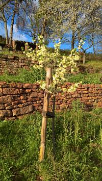 Patenschaft für einen jungen Streuobstbaum