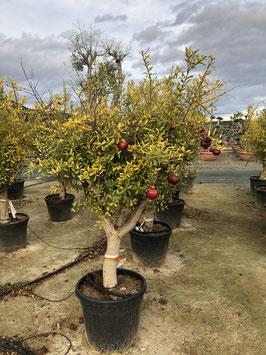 Granatapfelbaum Punica granatum ca. 200+cm STU40/50