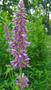 Lavendelagastache - Agastache astromontanum (Saatgut)