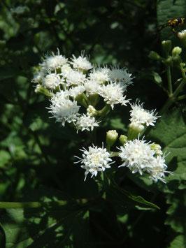 Eupatorium aromaticum (Saatgut)