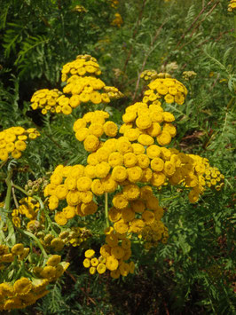 Tanacetum vulgare (Saatgut)