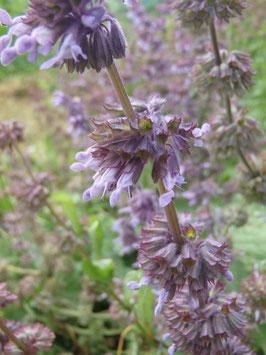 Salvia verticillata (Saatgut)