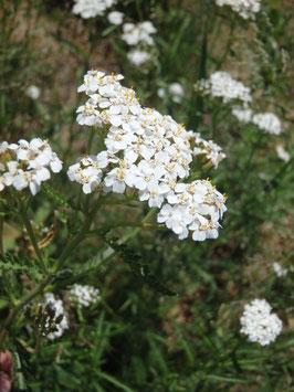 Achillea millefolium (Saatgut)