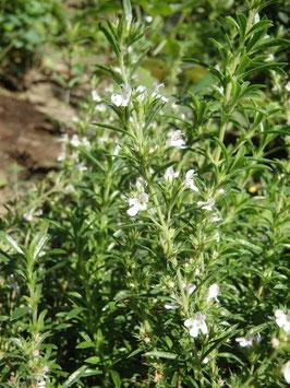 Satureja montana (Saatgut)
