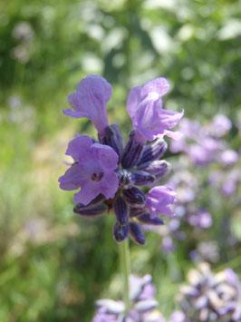 Lavandula angustifolia (Saatgut)