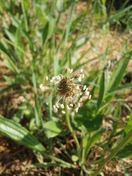 Plantago lanceolata (Saatgut)