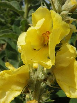 Verbascum densiflorum (Saatgut)