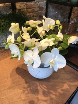 Orchidee Twister kleur te kiezen!