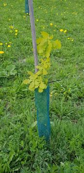 Trüffelbaum Eiche 5 jährig