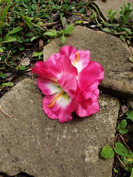 Pinke Gladiolen 3er Blüte