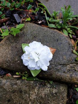 Kleine weiße Haarblüte mit Blätter