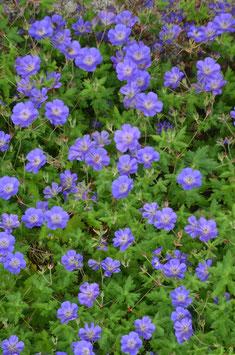 Geranium wallichianum 'Rozanne'