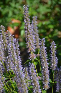 Agastache rugosa-Hybr. 'Blue Fortune'