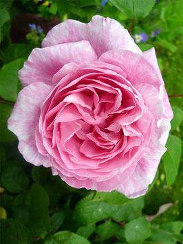 Mary Rose