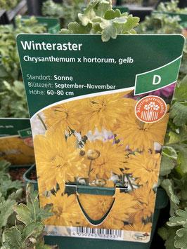 Winteraster gelb
