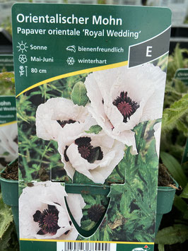 Orientalischer Mohn `Royal Wedding´