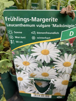 Frühlings- Margerite