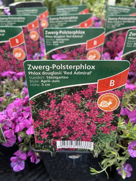 Zwerg- Polsterphlox `Red Admiral´