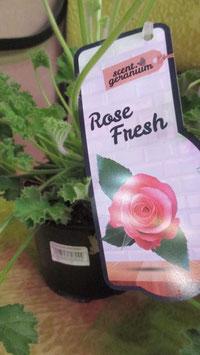 Душистая пеларгония Роза