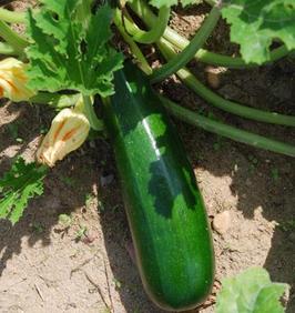 "Zucchini ""Verte des Maraichers"""