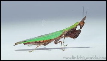 Anasigerpes bifasciata