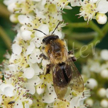 Bild: wahrscheinlich die Glänzende Düstersandbiene, Andrena nitada, am Feuerdorn