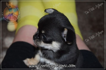 Chiot chihuahua femelle petit gabarit poil court