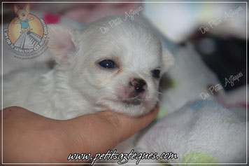 Un de nos chiots chihuahua poil long miniature en illustration
