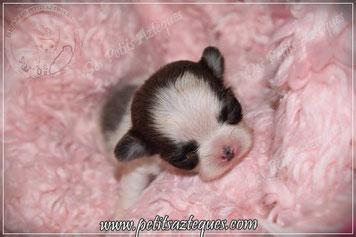 Chiot chihuahua mini : chiot chihuahua LOF à vendre (vendu)