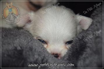 Bébé chiot chihuahua à vendre (en option)