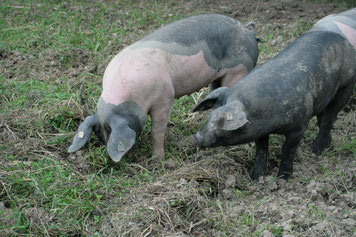 Cinta-Senese-Schwein