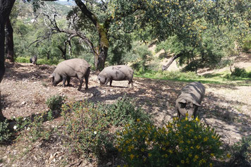 Ibérico-Schweine auf dem Gelände der Fundacion Monte Mediteraneo