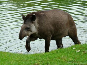 fiche animaux tapir bresil vs tapir malaisie