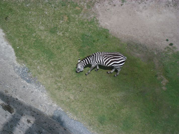 How a zebra looks to a bird